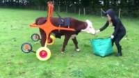 Duke the bullock learning to walk using a wheelcart