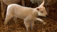 Fiver the lamb