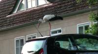 Ronny the stork in Glambeck