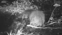Beaver footage