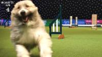 At the famous dog competition Crufts, a cross-breed called Kratu had the crowds in hysterics after deciding he was going to do the assault course his own way.