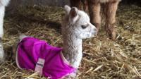 Holly the baby alpaca
