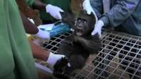 The zoo works with a sanctuary in Cameroon which rescues orphaned gorillas.