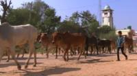Cows in rural Indian village