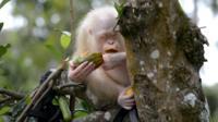 Alba the albino orangutan