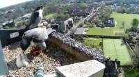 Peregrine falcon chicks in the nest