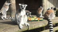 Lemurs eating