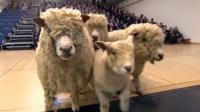 Sheep at Walsall Academy