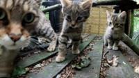 Wildcat kittens born in Kent