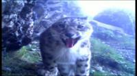 「幻の動物」ユキヒョウ WWFが映像公開
