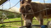 Clover the donkey
