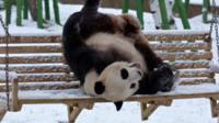 Panda playing in snow