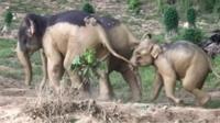 Elephant leading young elephant away