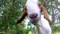 The Canadian city of Edmonton has hired goats to eat noxious weeds in its parks