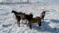 Four Alberta wild horses