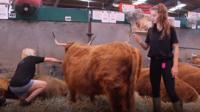 Getting ready for the show ring - just one of the cattle at the Royal Welsh Show