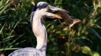 Heron eating pike eating fish