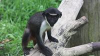 Baby Diana monkey