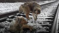 Dogs on train tracks