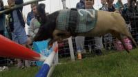 Racing pig at Royal Norfolk Show