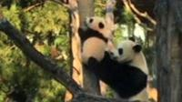 Panda stuck up tree