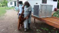 Rescued orangutans