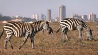 Zebra in Nairobi national park