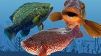 Three wrasse fish on top of a blue sea background