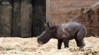 White rhino calf Bonnie