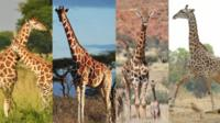 Giraffe composite image