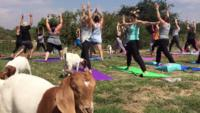 Forget stretching in downward dog, goats are the new kids on the yoga block.