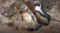 Fluffy the penguin