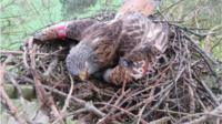 An attempt has been made to save the eggs of some poisoned birds of prey by trying to get other birds to adopt them.