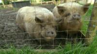 A sanctuary owner says she is now having to turn away some abandoned and neglected pigs.