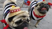 Two pugs dressed in Venetian gear