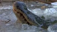 Alligator in ice