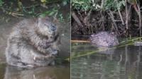 Beavers. Pic: Chris Townend/Wise Birding Holidays