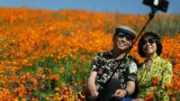 Tourists take photos among the golden poppy display in Southern California.