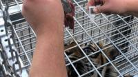 Tiger being given eye drops