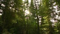 California's Coast Redwood (Sequoia sempervirens) trees
