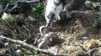 Osprey feeding her chicks