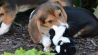 Two of seven puppies born through IVF