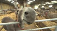 Donkey dentist
