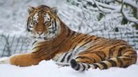 Tigers playing in the snow