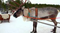 A reindeer in Lapland