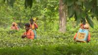 Tea plantation spraying