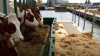 Vacas em fazenda flutuante na Holanda