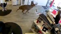 Deer in salon