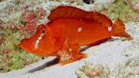 Close up of rare 'walking fish'