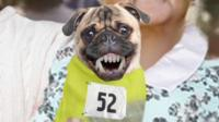 Performance-enhancing pugs